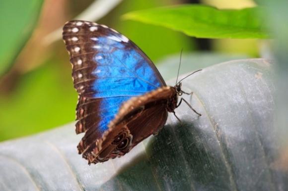 blue_butterfly_191764