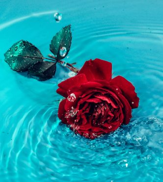 red-rose-flower-on-body-of-water-3041112